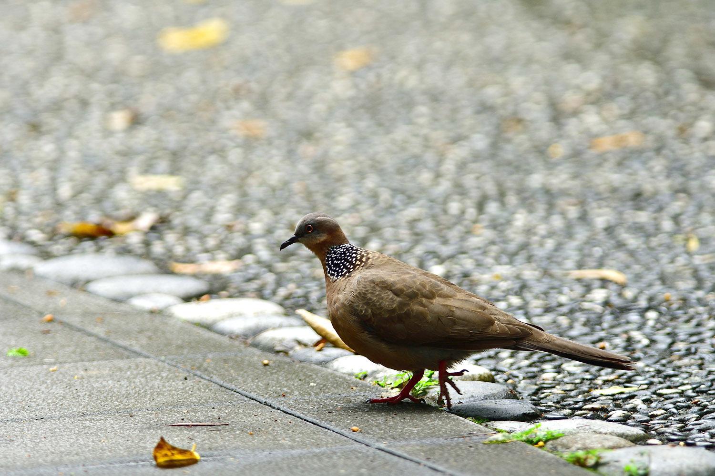 カノコバト 台湾:台北市探鳥紀 ⑳_e0362696_16542616.jpg