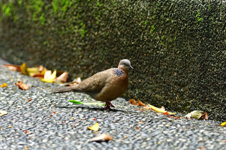 カノコバト 台湾:台北市探鳥紀 ⑳_e0362696_16543045.jpg