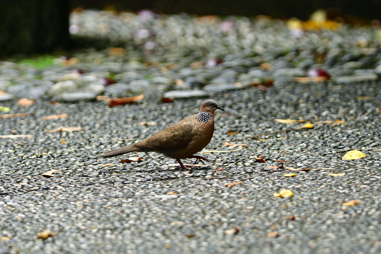 カノコバト 台湾:台北市探鳥紀 ⑳_e0362696_16543568.jpg