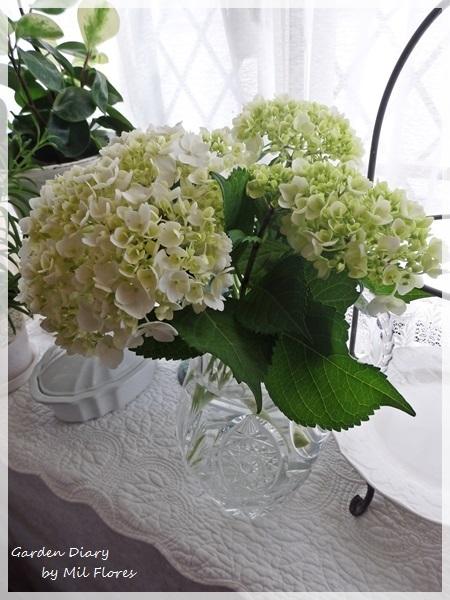 White hydrangea_e0365614_19534856.jpg