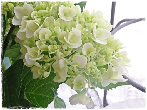 White hydrangea_e0365614_19535963.jpg