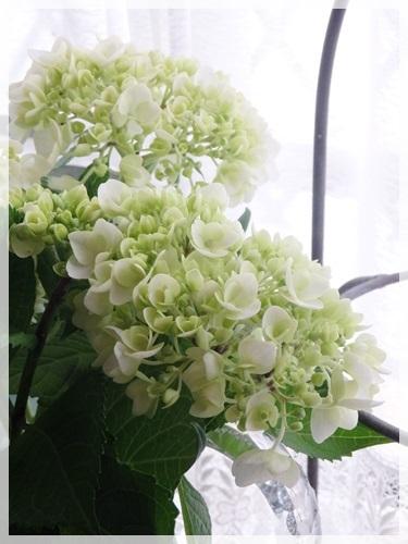 White hydrangea_e0365614_19541514.jpg