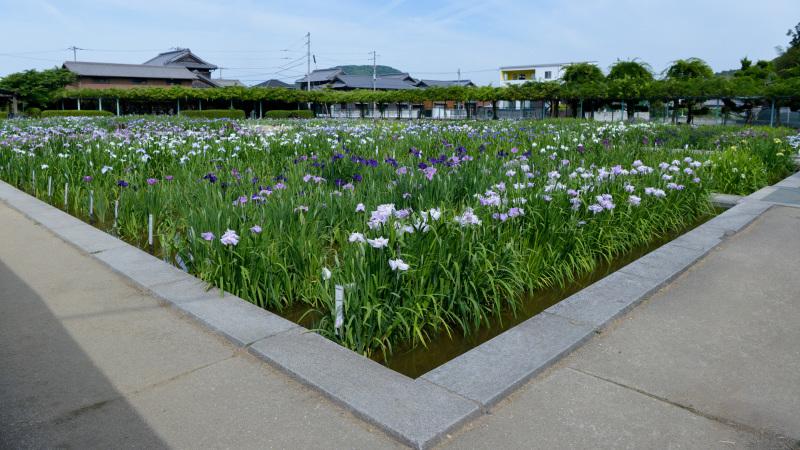 坂出市 かわつ花菖蒲園に 今年も・・・_d0246136_17320282.jpg