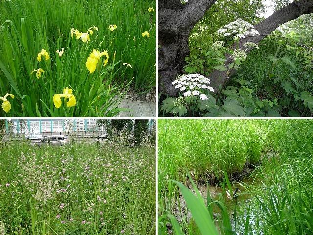 初夏のサクシュコトニ川緑地_f0078286_11415168.jpg