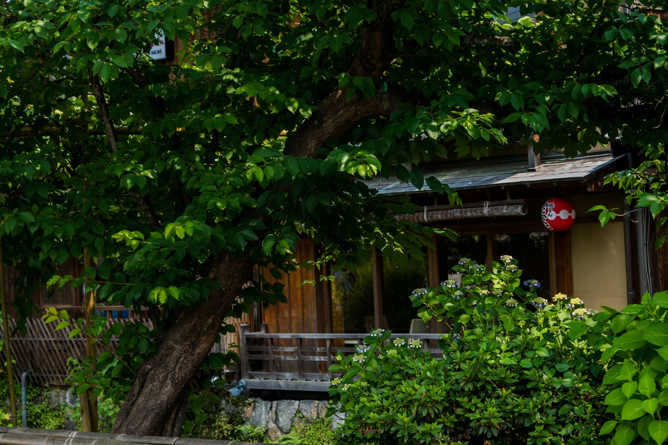 ZEF Kyoto Gion Shirakawa・・・紫陽花咲く頃_e0363038_110288.jpg