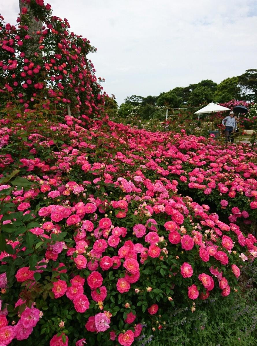 宮崎こどものくにGarden再生物語・・・・薔薇が終わり・・・次の季節へ向けてスタート・・_b0137969_04415326.png