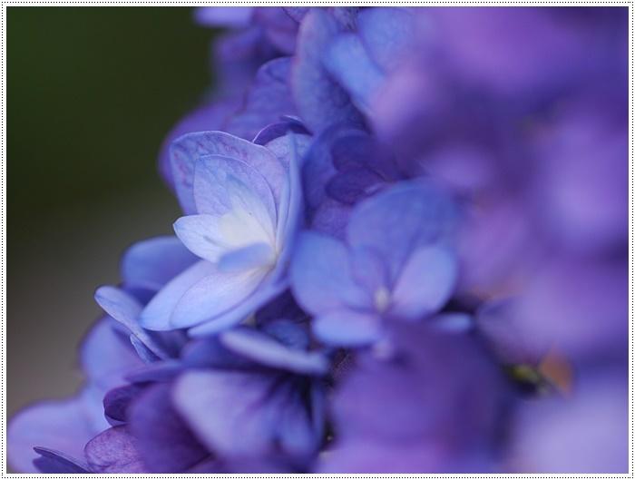紫陽花も雨を待ってるのかな~_b0175688_23393284.jpg