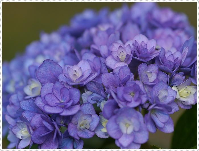 紫陽花も雨を待ってるのかな~_b0175688_23393652.jpg