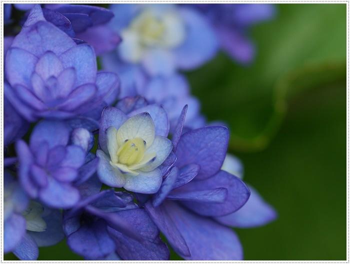 紫陽花も雨を待ってるのかな~_b0175688_23394093.jpg