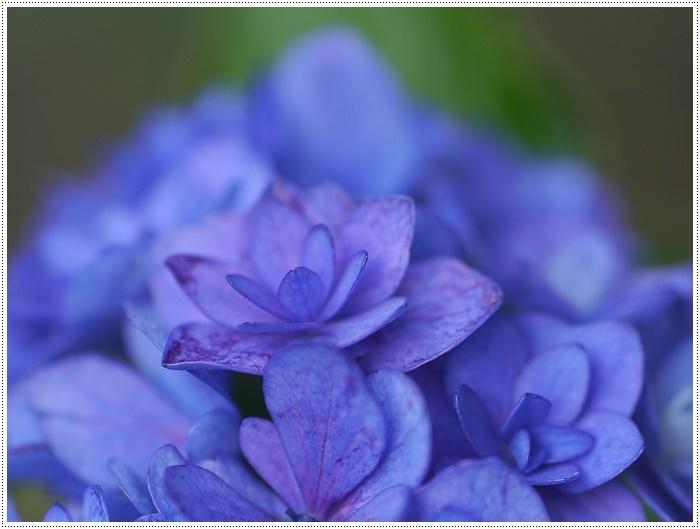 紫陽花も雨を待ってるのかな~_b0175688_23394473.jpg