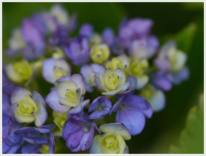 紫陽花も雨を待ってるのかな~_b0175688_23400233.jpg