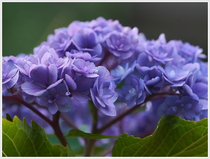 紫陽花も雨を待ってるのかな~_b0175688_23400636.jpg