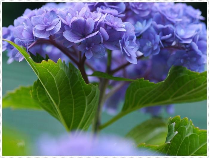 紫陽花も雨を待ってるのかな~_b0175688_23401057.jpg