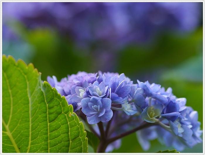 紫陽花も雨を待ってるのかな~_b0175688_23401397.jpg
