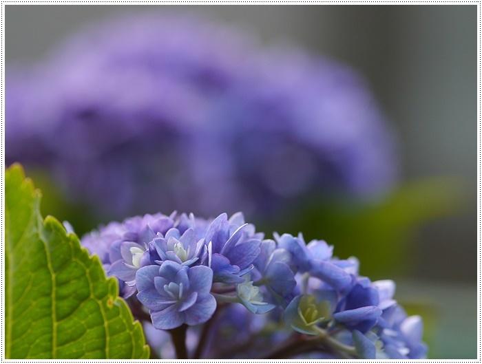 紫陽花も雨を待ってるのかな~_b0175688_23403574.jpg
