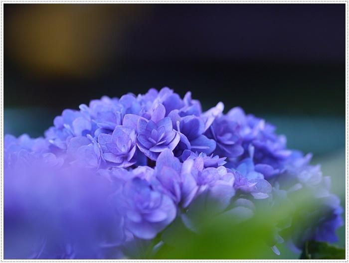 紫陽花も雨を待ってるのかな~_b0175688_23403878.jpg