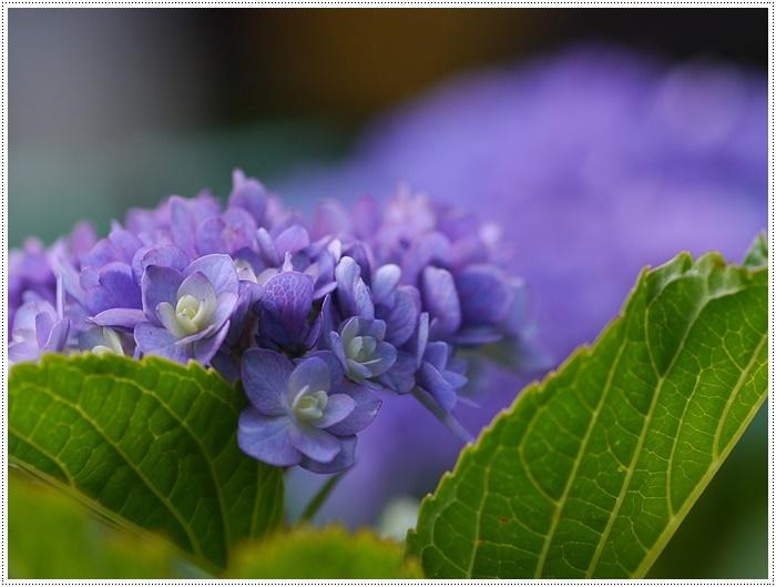 紫陽花も雨を待ってるのかな~_b0175688_23404223.jpg