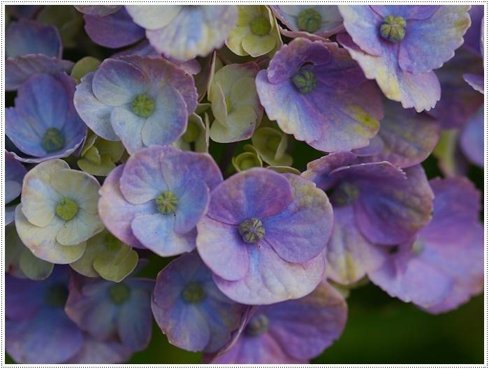 紫陽花も雨を待ってるのかな~_b0175688_23404519.jpg