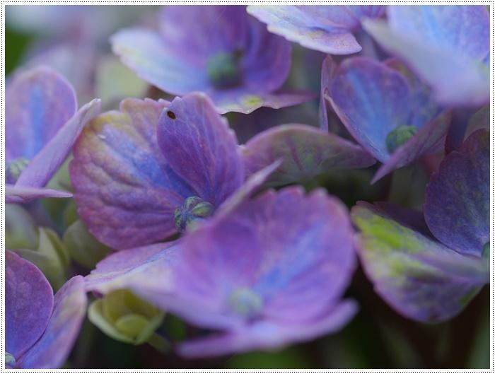 紫陽花も雨を待ってるのかな~_b0175688_23410294.jpg
