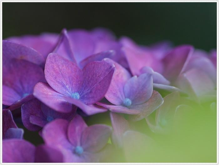 紫陽花も雨を待ってるのかな~_b0175688_23410521.jpg