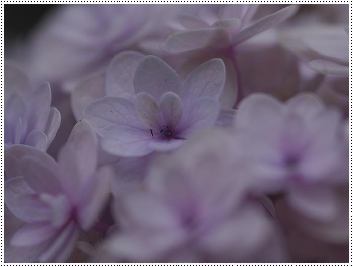 紫陽花も雨を待ってるのかな~_b0175688_23411154.jpg