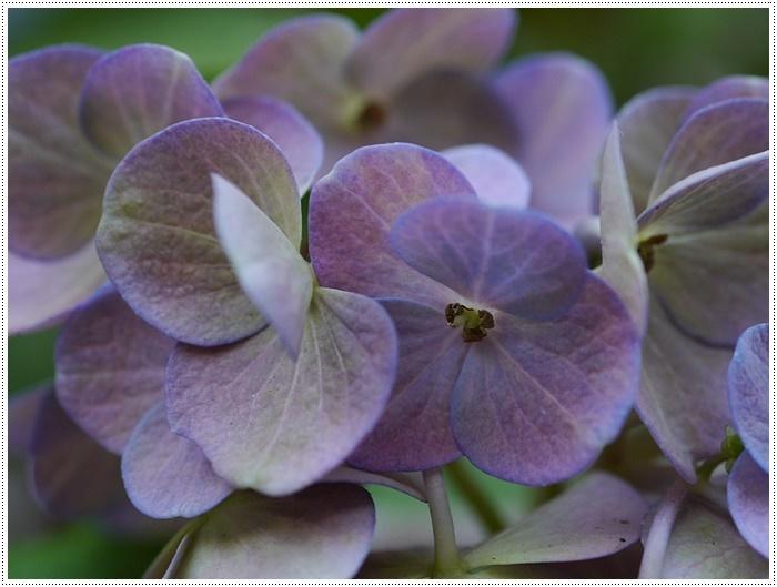 紫陽花も雨を待ってるのかな~_b0175688_23411844.jpg