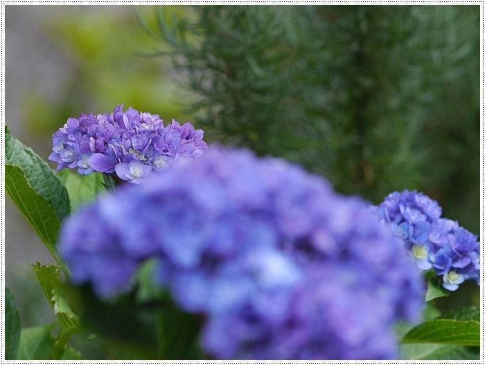 紫陽花も雨を待ってるのかな~_b0175688_23414398.jpg