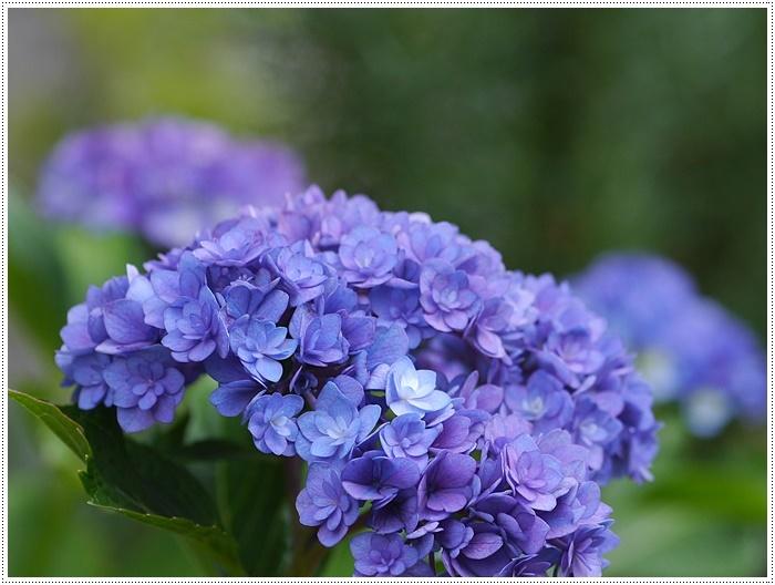 紫陽花も雨を待ってるのかな~_b0175688_23414778.jpg