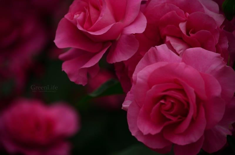 薔薇のテーマ_f0321522_09421192.jpg