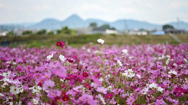 六月の 秋桜を撮ってきました ②_d0246136_10303729.jpg