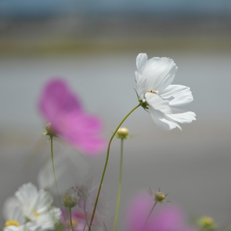 六月の 秋桜を撮ってきました ②_d0246136_10305181.jpg