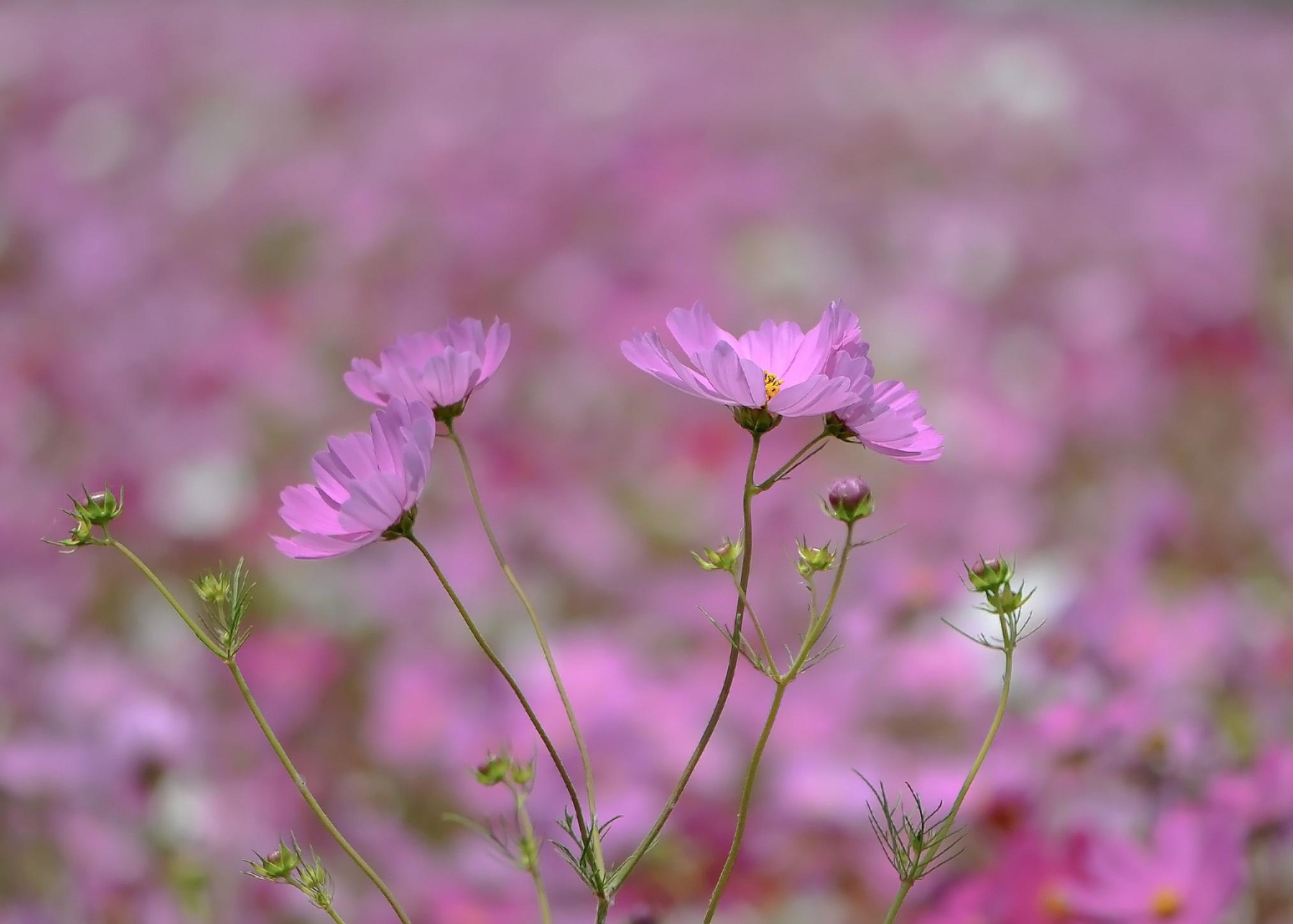 六月の 秋桜を撮ってきました ②_d0246136_10310531.jpg