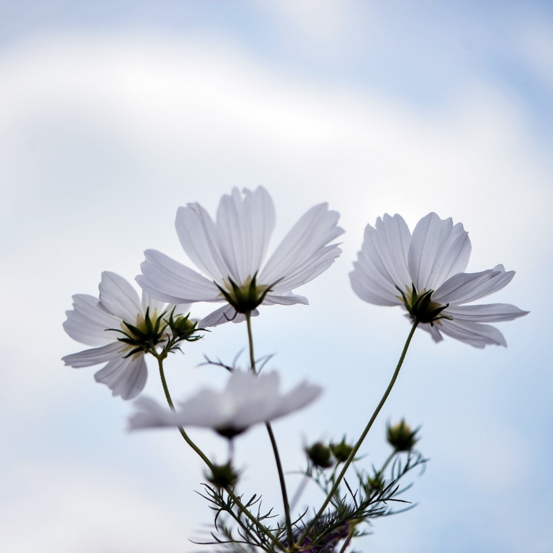 六月の 秋桜を撮ってきました ②_d0246136_10312063.jpg
