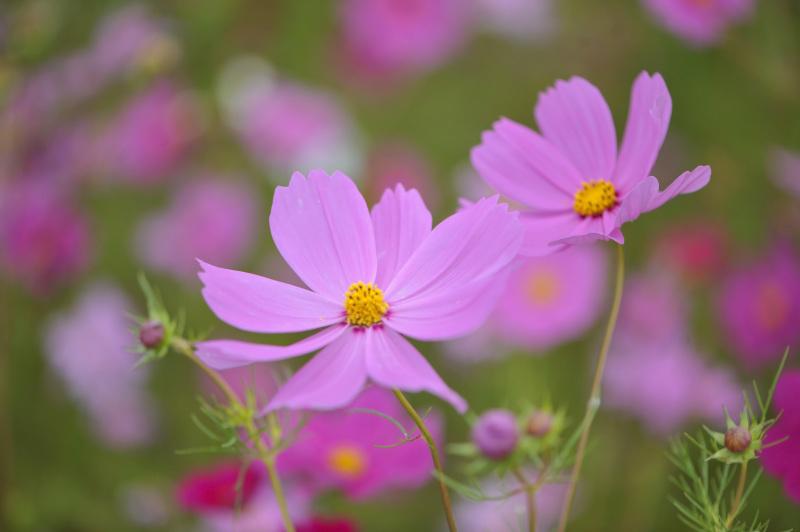 六月の 秋桜を撮ってきました ②_d0246136_10313426.jpg