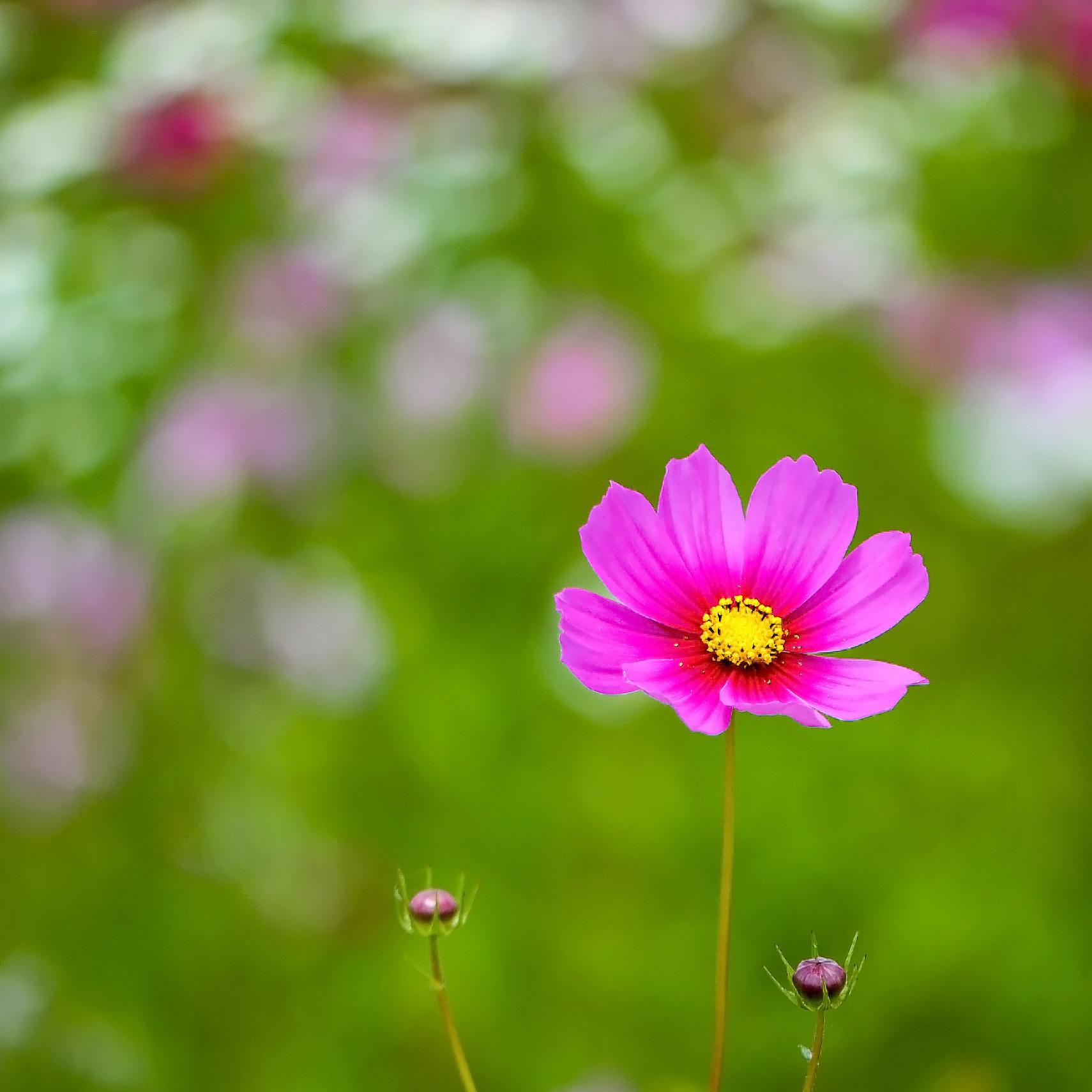六月の 秋桜を撮ってきました ②_d0246136_10315316.jpg