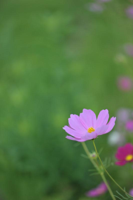 六月の 秋桜を撮ってきました ②_d0246136_10320877.jpg