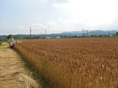 小麦収穫開始_c0332682_21494610.jpg