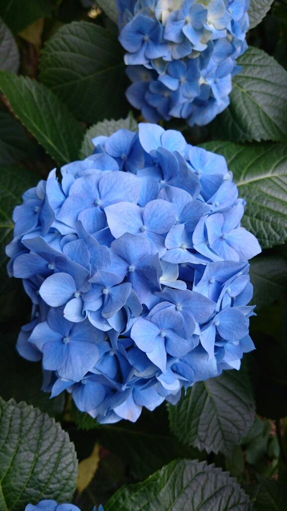【紫陽花】_e0253188_08214230.jpg