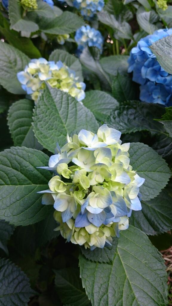 【紫陽花】_e0253188_08214405.jpg