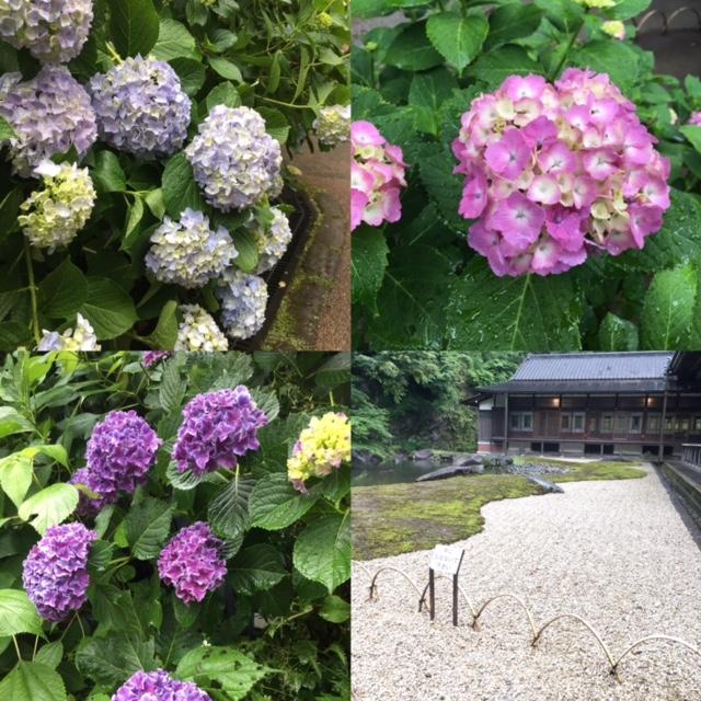 鎌倉円覚寺の紫陽花_c0079492_1265862.jpg