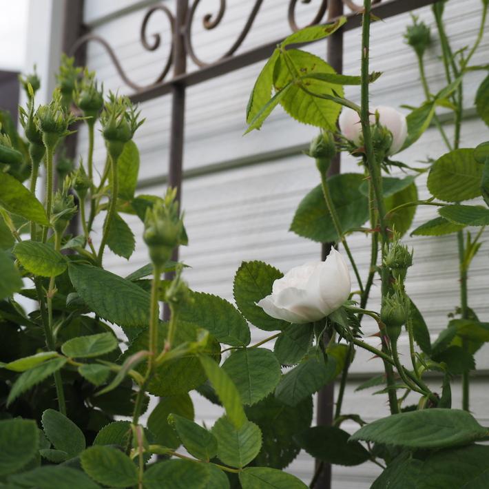 バラが咲き始めました。_a0292194_21581229.jpg