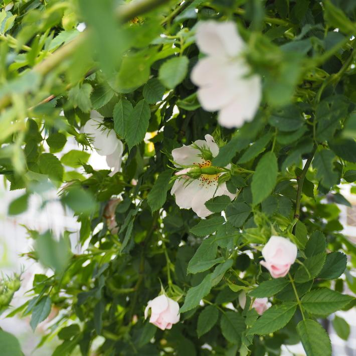 バラが咲き始めました。_a0292194_2244178.jpg