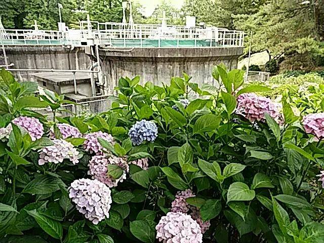 今治市民の森の6月中旬の花…2017/6/17_f0231709_22424058.jpg