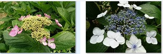 今治市民の森の6月中旬の花…2017/6/17_f0231709_22444815.png