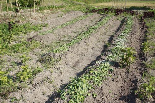 キャベツと玉ねぎの収穫 畑仕事色々_f0208315_23425160.jpg