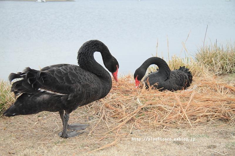 black swan ♪_d0367763_18150733.jpg