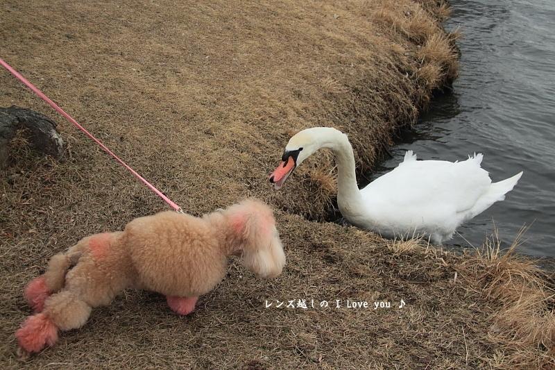 black swan ♪_d0367763_18150950.jpg