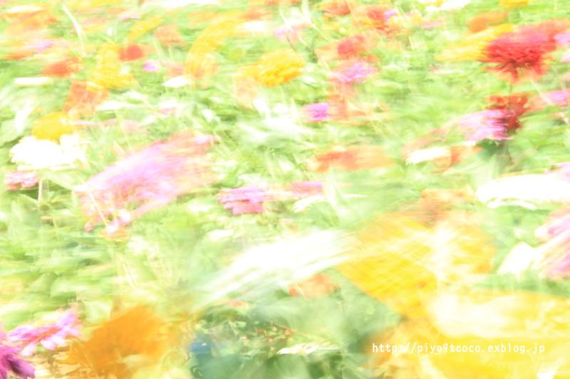 ジニア畑で私をつかまえて♪_d0367763_22450418.jpg