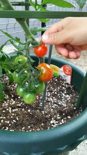 トマト色付く。_f0098671_07012407.jpg
