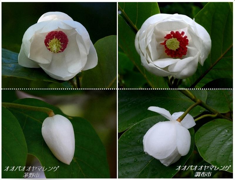 マグノリアの花たち(オオヤマレンゲ、タイサンボク)_a0204089_5151820.jpg